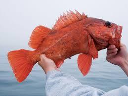 California Rockfish Chart Southern California Rockfishing Sport Fishing Magazine