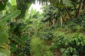 shade grown coffee plantation. Plain Grown The Benefits Of Shadegrown Coffee In Colombia Tackling Superbugs Costa  Rica And Deforestation Nicaragua In Shade Grown Coffee Plantation R