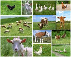 real farm animals collage. Beautiful Animals Farm Animals And Birds Collage Stock Photo Picture Royalty Image Source  From This Intended Real L