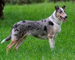 Collie (Smooth) - Dog Breeds - Purina Australia