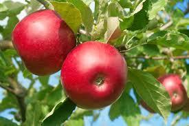 elma görselleri ile ilgili görsel sonucu