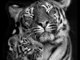 black tiger with blue eyes wallpaper. Delighful Tiger Blue And Black Tigers  Baby White With Eyes Wallpapers  White Pictures  Inside Tiger Wallpaper D