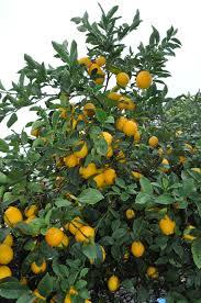lemon tree x: improved meyer lemon photo by rich zimmerman