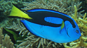 pic of fish. Delighful Pic The Royal Blue Tang Helps Keep Corals Healthy Credit ImageBROKERAlamy On Pic Of Fish O