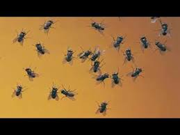 Home Reme s To Avoid Houseflies