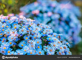 autumn flowers garden beautiful chrysanthemums gardening fl background stock photo