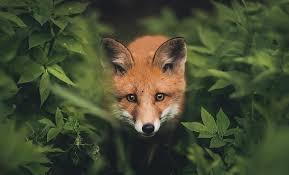 Kuvahaun tulos haulle fox