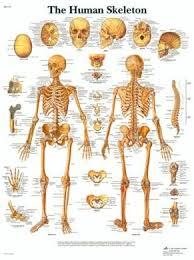 Human Skeleton Wall Chart Lagaay International