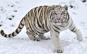 white tiger wallpaper hd 1080p. Perfect White And White Tiger Wallpaper Hd 1080p R