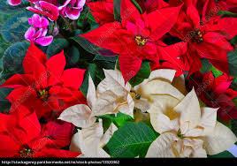 Stock Bild 13320362 Weihnachtsstern Holz Hintergrund