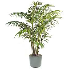 Decorative Indoor Trees Majesty Palm