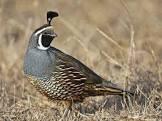ben s texas quail