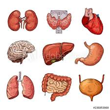 Organs In The Human Body Human Internal Organs Cartoon Brain And Heart Liver And