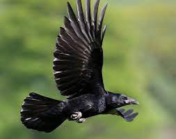 Ebony wings | Crow bird, Black bird, Crow