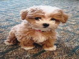 dog breeds crossed best 25 poodle mix ideas on poodle mix puppies