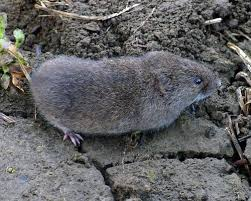 how to get rid of voles in garden.  Rid This Year I Have Been Dealing With An Infestation Of Voles  Throughout How To Get Rid Of Voles In Garden R