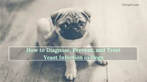 How to Diagnose, Prevent, and Treat Yeast Infection in Dogs | CertaPet
