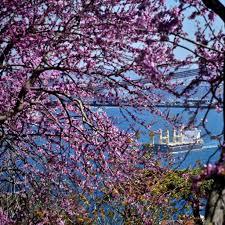 Beykoz'da erguvan çiçekleri güzelliği büyüledi!