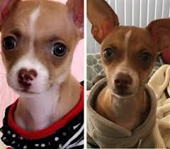 Chihuahua Color Chart Chihuahua Skin Color Change Fur Color Change