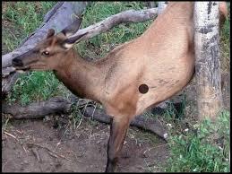 Elk Shot Placement Thread