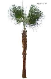 fan palm trees. large chinese fan palm tree trees r