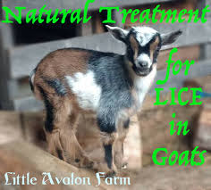 Goat Lice Natural Treatment For Lice In Goats Little Avalon Farm