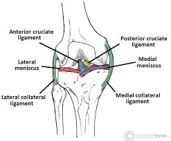 The Knee Joint Articulations Movements Injuries