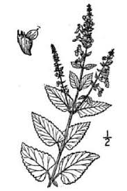 Plants Profile for Teucrium scorodonia (woodland germander)