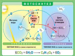 Реферат по биологии Фотосинтез Реферат по биологии Фотосинтез 2