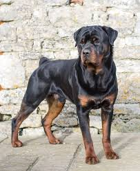 rottweilers are the types of dogs that would herd an entire herd of cattle and maneuver them all on their own they have also helped around in pulling