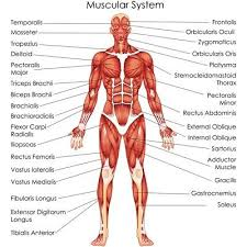 Muscular System Anatomical Chart Poster 15 00 Picclick