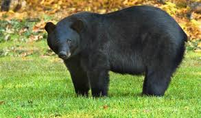 a louisiana black bear standing in a grassy clearing