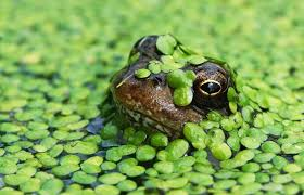 garden frogs. Interesting Garden A Frog Struggles To The Surface For A Gulp Of Air In Mill Pond Swamped To Garden Frogs N