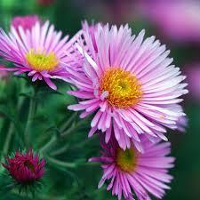 September Birth Flower | What is your birth flower?