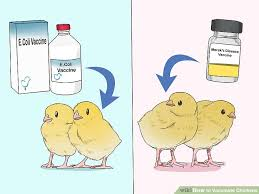 Chicken Disease Chart 6 Ways To Vaccinate Chickens Wikihow