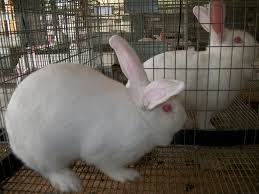 How long for rabbits to mature