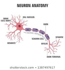 Neuron Images Stock Photos Vectors Shutterstock