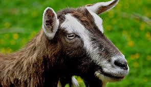 Dairy Goat Breeds 4 Uncommon Goat Breeds Perfect For Hobby Farms Hobby Farms