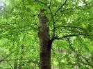 Images & Illustrations of black birch
