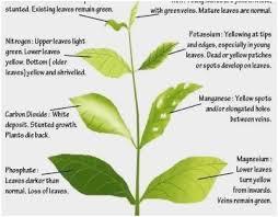 Plant Nutrient Deficiency Chart 51 Proper Cannabis Leaf Deficiency Chart