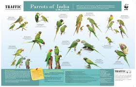 Lovebird Growth Chart Clairvoyant Parrots In India A Dying Breed With Astrologers