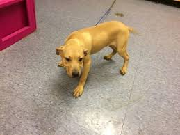 Image of: File3 Skully Female Pitbull Mix After Being Admitted June 23 2017 Detroit News Ingham Animal Shelter Moves On After Scandal