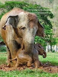 baby elephant photos save elephant foundation baby elephant and mom at elephant nature park