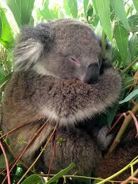 photo essay animals of turf to surf koala caversham photo essay animals of