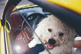 Image result for Poodles Hund im Auto