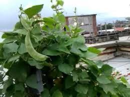 terrace vegetable farming