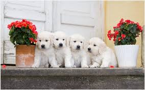 cute white puppies wallpaper. Perfect White White Puppies Wallpaper  Cute White Puppies Wallpaper Puppy  Wallpaper Desktop German Shepherd Labrador  Intended Cute H