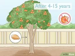 Três tipos de poda são normalmente empregados em pomares cítricos: Como Cultivar Uma Laranjeira Com Imagens Wikihow