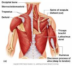 arm blade name. anatomical name for shoulder blade day 6 hello muscle goode sticks stay active live healthy arm t