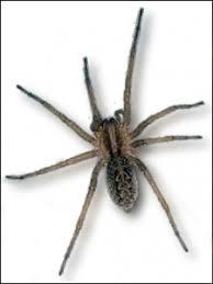 Hobo Spider Pest Control In Seattle Wa Whitworth Pest